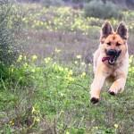 Vliegende hond Joy
