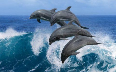 Dolfijnen langs Meia Praia, Lagos